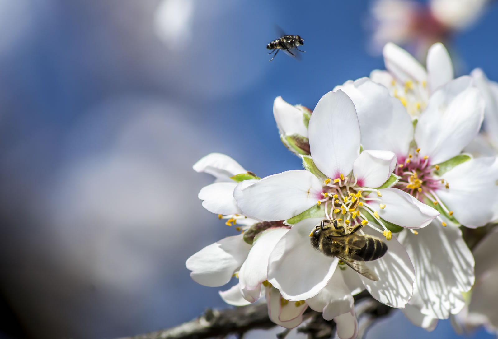 Almond blossom and bees