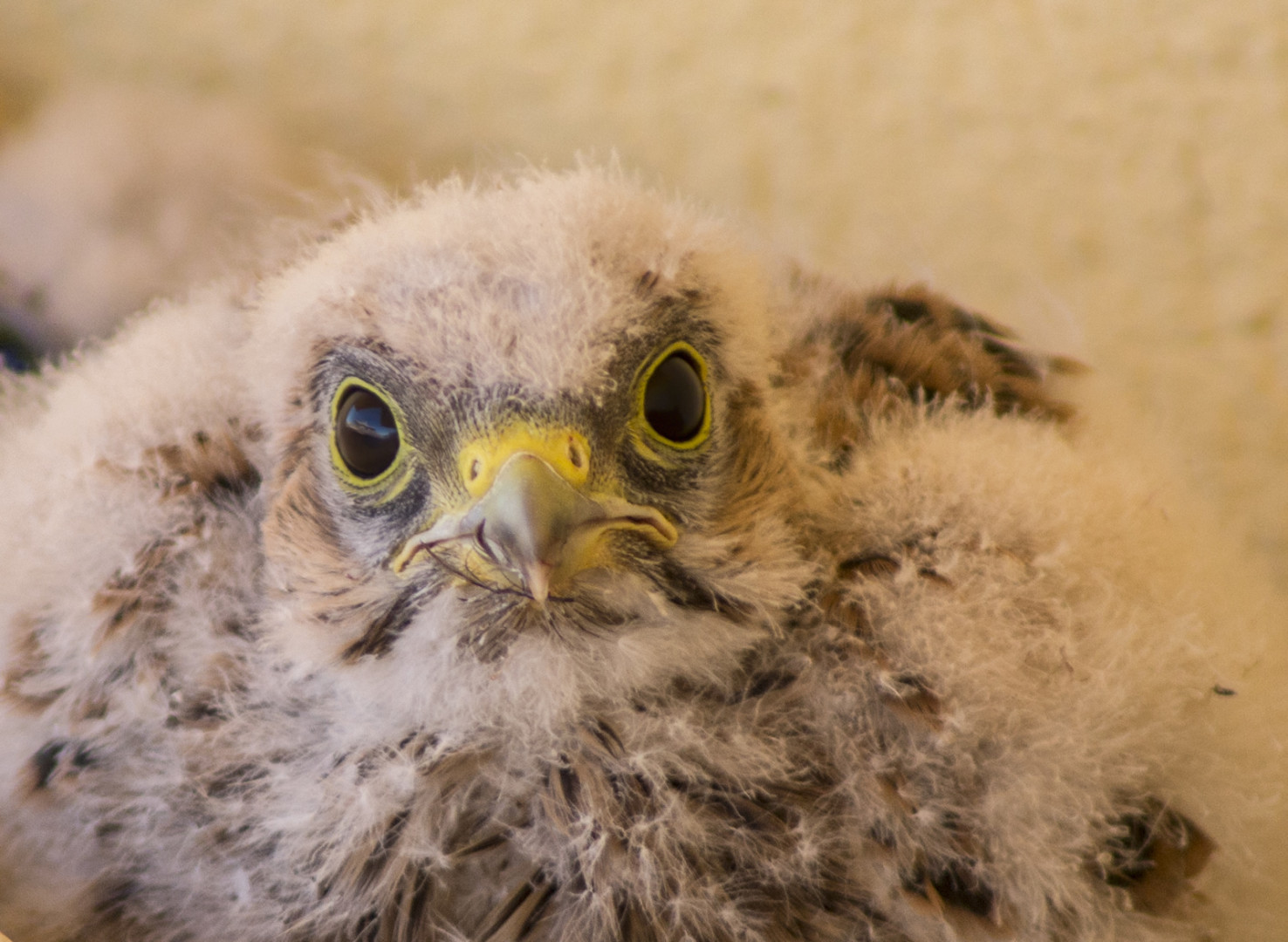 kestrel chick
